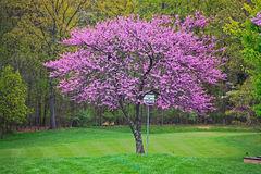 Redbud -Tree